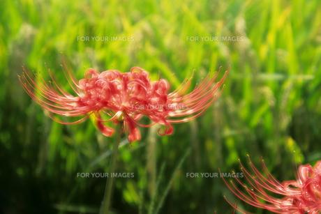ヒガンバナと稲穂 - Rice and red spider lilyの素材 [FYI00481922]