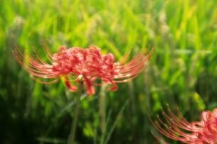 ヒガンバナと稲穂 - Rice and red spider lilyの写真素材 [FYI00481922]