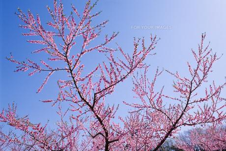 青空に桃の花 - The peach blossom in blue skyの素材 [FYI00481927]
