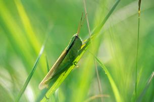 草むらのバッタ - Grasshopper in grassの写真素材 [FYI00481928]