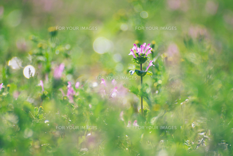 草むらのホトケノザ - Henbit in grassの素材 [FYI00481934]