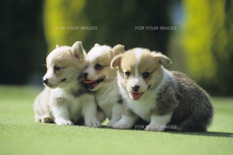 仲良しの子犬たち、Puppies of a good friendの写真素材 [FYI00482041]
