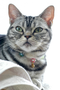 気高いネコ・アメリカンショートヘアーの写真素材 [FYI00482049]