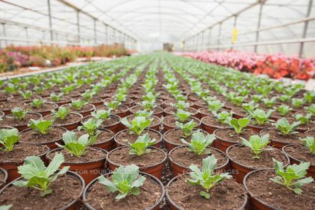 Plants in horticultureの写真素材 [FYI00486750]