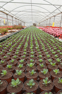 Seedlings in greenhouseの写真素材 [FYI00486751]