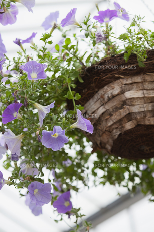 Flower pot in garden centreの写真素材 [FYI00486754]