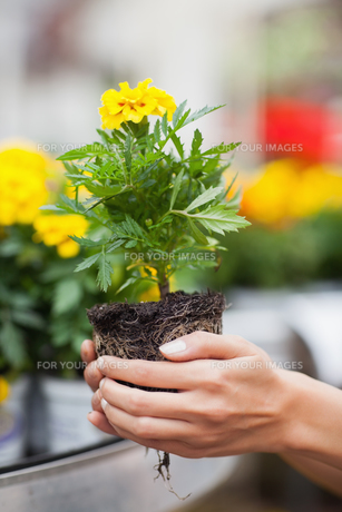 Woman about to put plant into potの写真素材 [FYI00486769]