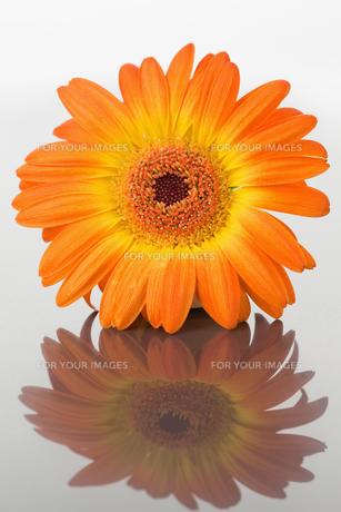 Close up of an orange gerbera on a mirrorの素材 [FYI00487744]