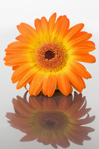 Close up of an orange gerbera on a mirrorの写真素材 [FYI00487744]
