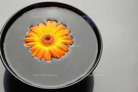 Orange gerbera floating in a black bowlの素材 [FYI00487750]
