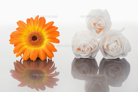 White roses and orange gerbera on a mirrorの素材 [FYI00487778]
