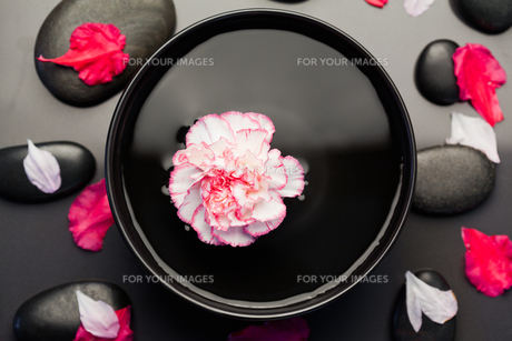 White and pink carnation floating in a black bowl surrounded by black stones and petalsの素材 [FYI00487858]