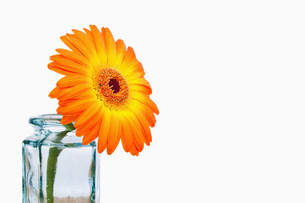 Close up of an orange sunflower in a glass flaskの写真素材 [FYI00487898]