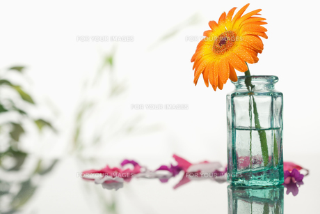 Orange gerbera in a glass flask with pink petals and leavesの写真素材 [FYI00487990]