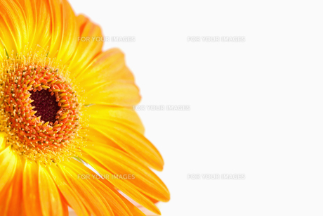 Focus on an orange sunflowerの素材 [FYI00488009]