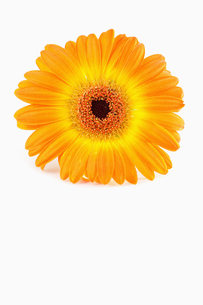 Orange sunflower against white backgroundの写真素材 [FYI00488020]