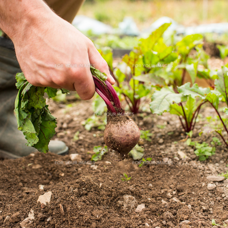Man pulling fresh beetroot out of the groundの写真素材 [FYI00488074]
