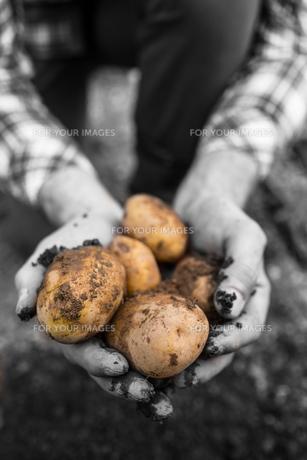 Farmers hands showing freshly dug potatoesの写真素材 [FYI00488076]