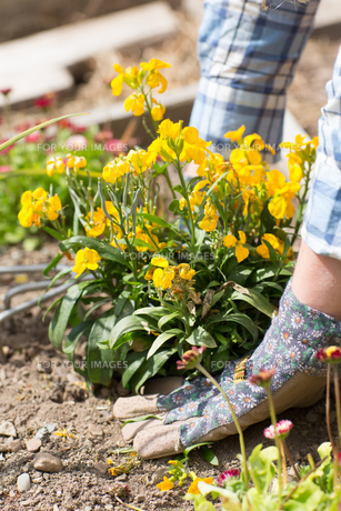Woman planting a yellow flowerの写真素材 [FYI00488078]