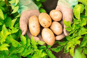 Hands presenting organic fresh potatoesの写真素材 [FYI00488080]