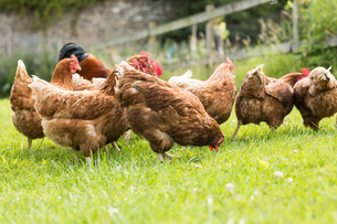 Chickens on a lawnの写真素材 [FYI00488090]