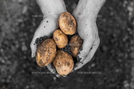 Hands presenting freshly dug potatoesの写真素材 [FYI00488096]