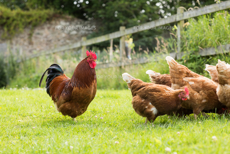 Chickens on a lawn with a cockerelの写真素材 [FYI00488111]
