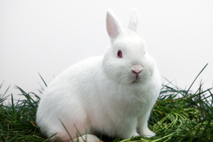Fluffy white bunny rabbit sitting on grassの写真素材 [FYI00488370]