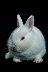 Pet vienna white rabbit with albinismの素材 [FYI00488372]