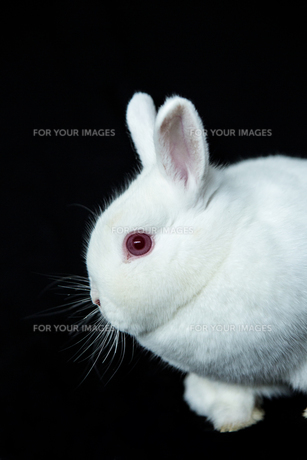 Vienna white rabbit with albinismの素材 [FYI00488390]