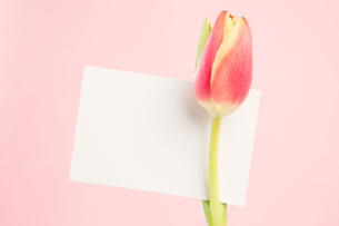 Close up of a beautiful tulip with a empty cardの写真素材 [FYI00488392]
