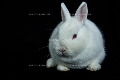 Pet vienna white rabbitの素材 [FYI00488393]