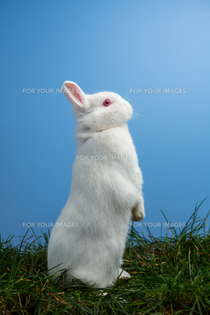 White fluffy rabbit standing up on the grassの素材 [FYI00488396]