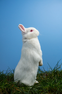 White fluffy rabbit standing up on the grassの写真素材 [FYI00488396]