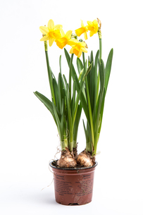 Daffodils growing from bulbs in a potの写真素材 [FYI00488397]