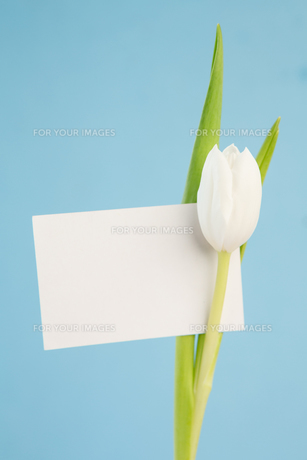 Beautiful white tulip with an empty card on a blue backgroundの写真素材 [FYI00488404]