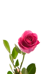 Pink rose in bloom with stalkの写真素材 [FYI00488406]
