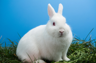 White bunny rabbit sitting on grassの素材 [FYI00488409]