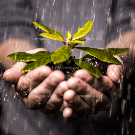 Close up of hands holding seedling in the rainの写真素材 [FYI00488415]