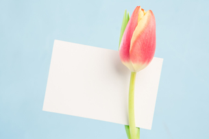 A beautiful tulip with a blank cardの写真素材 [FYI00488416]