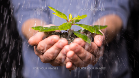 Hands holding seedling in the rainの写真素材 [FYI00488451]