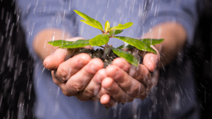 Hands holding seedling in the rainの写真素材 [FYI00488451]