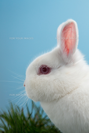 White fluffy rabbit with pink ears and eyesの写真素材 [FYI00488473]