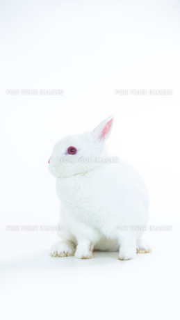 Fluffy white rabbitの素材 [FYI00488475]