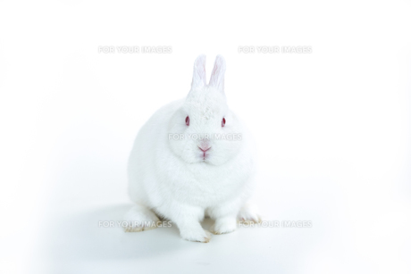 White rabbit facing cameraの素材 [FYI00488477]