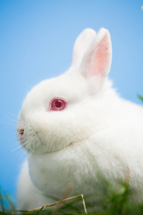 White bunny with pink eyes and earsの素材 [FYI00488488]