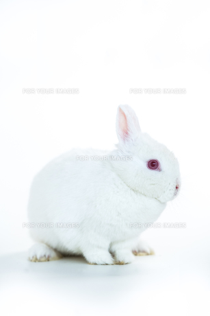White rabbitの写真素材 [FYI00488490]