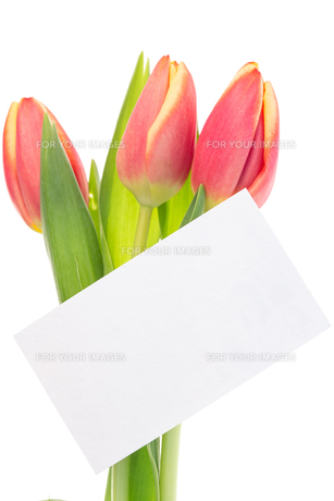 Pink and yellow tulips with blank cardの素材 [FYI00488493]