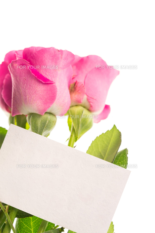 Blank card with pink rosesの素材 [FYI00488494]