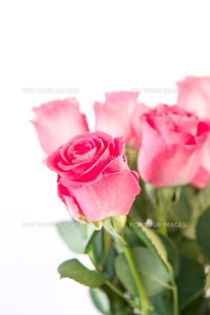 Bouquet of pink rosesの写真素材 [FYI00488497]